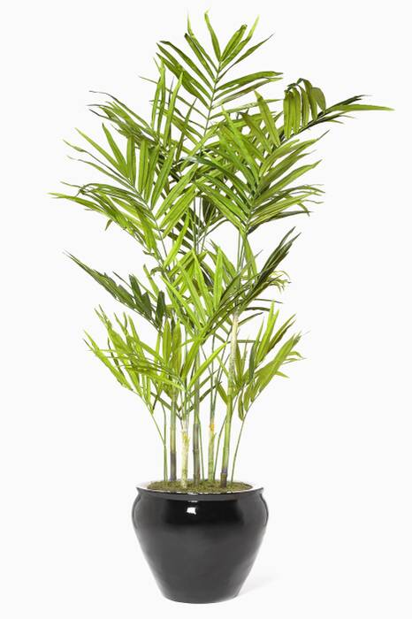 Kentia Palm Fishbowl Plant, Black